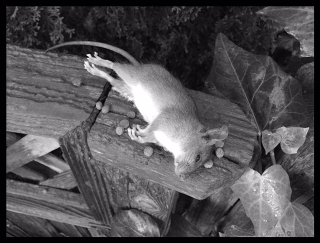 victor electronic rat trap dead rat