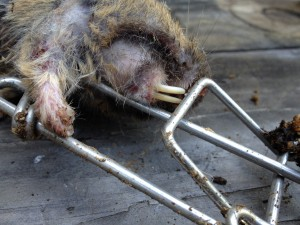Pocket Gopher Caught in Gophinator
