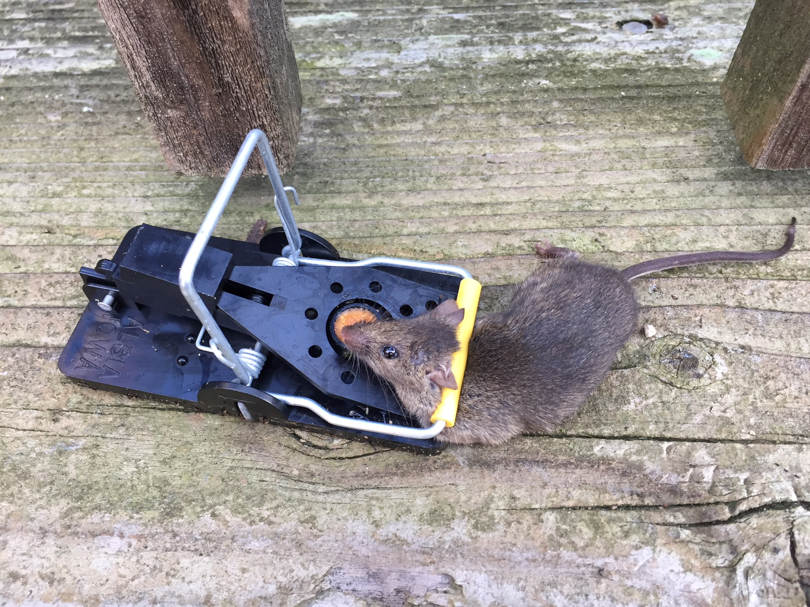 best mouse trap in action